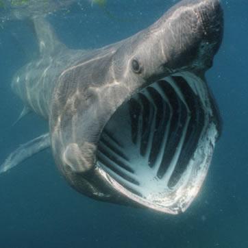Rechinul-pelerin este al doilea cel mai mare rechin din lume