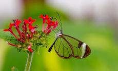 Fluturele magic cu aripi transparente